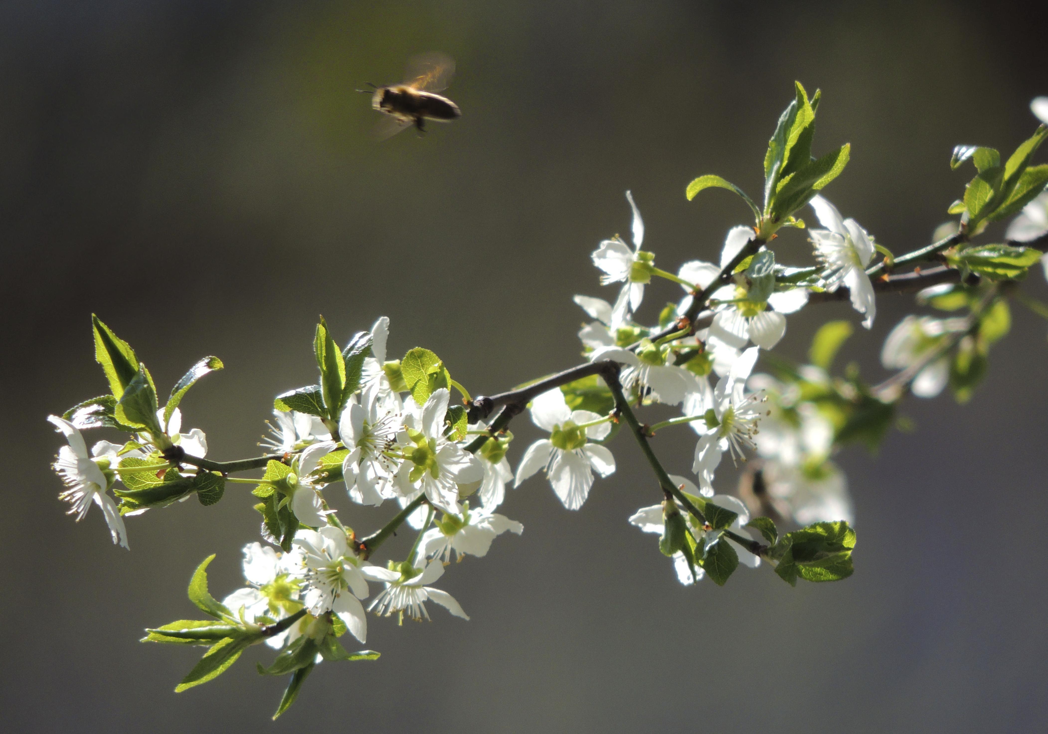Biene fliegt.png