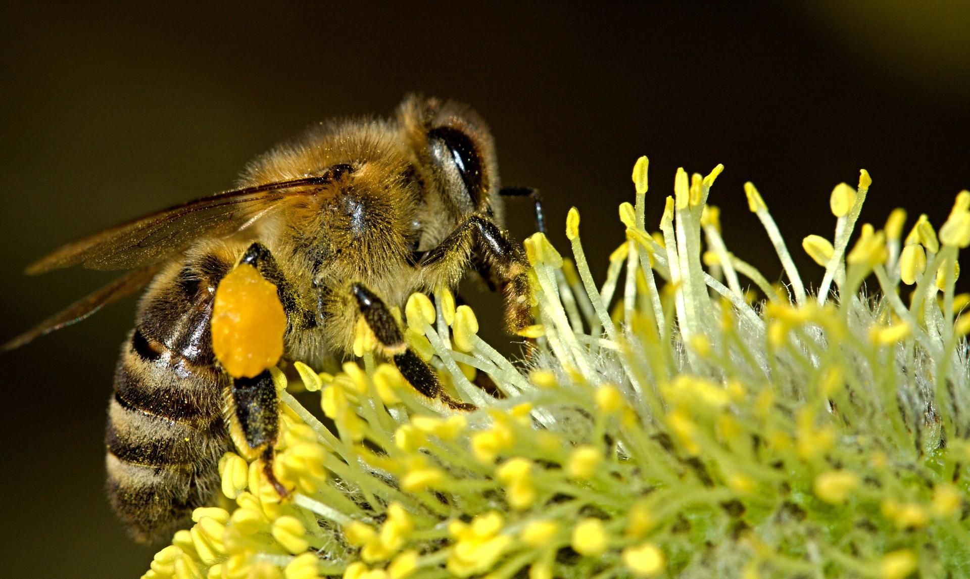 Biene mit Nektar