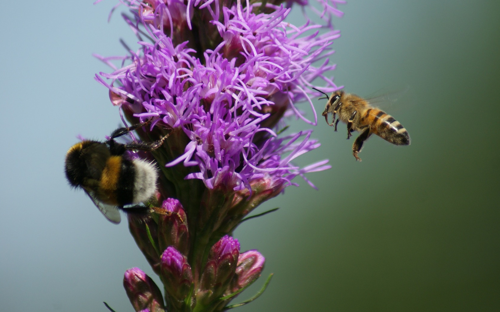Biene trifft Hummel