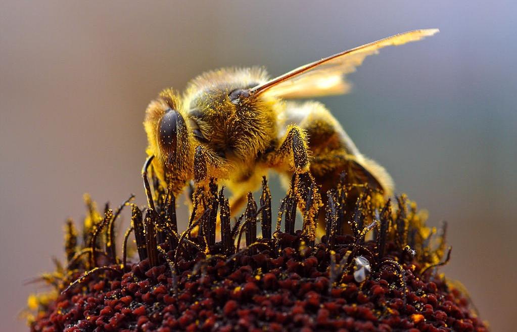 Biene voll Blütenstaub