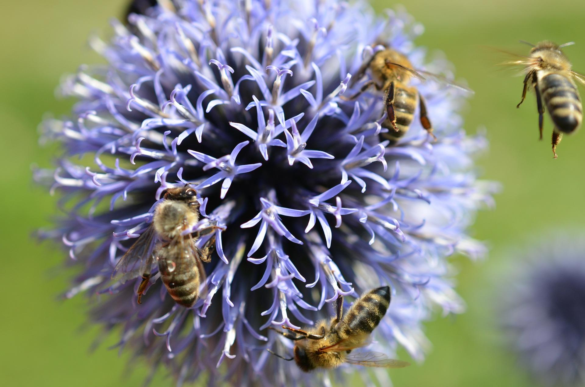 Bienen auf Blume