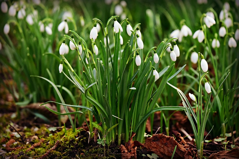 Schneegloeckchen pflanzen kaufen giftig