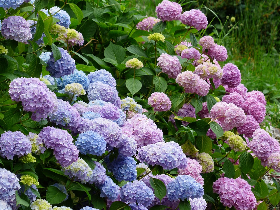 Gartenhortensie